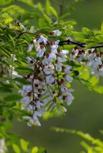 Black Locust blossom
