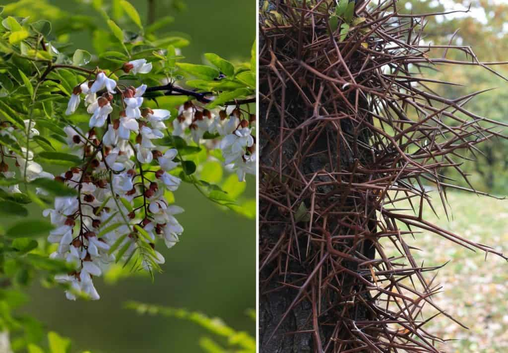 Black Locust tree and Honey Locust thorns