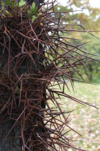 Thorns of a Honey Locust tree